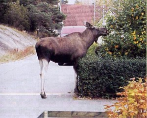 La Lancia Schweden - Knutscht mich hier ein Elch?